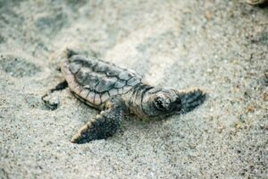 It's Sea Turtle Nesting Season