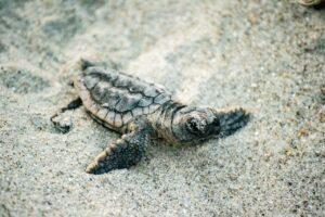 Video Of Sea Turtle Nest Hatching