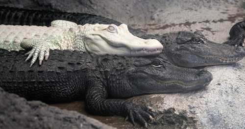 NC Aquariums Albino Alligator