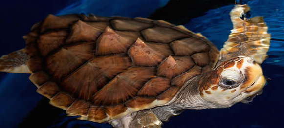 NC Aquariums Sea Turtle