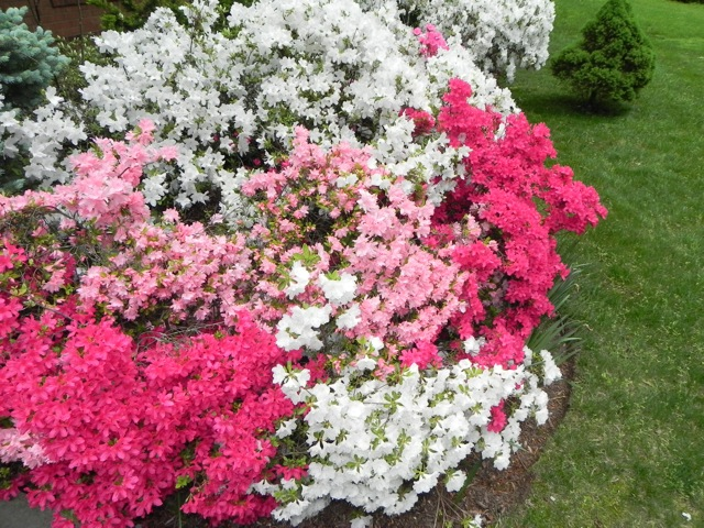 North Carolina Azalea Festival Azaleas