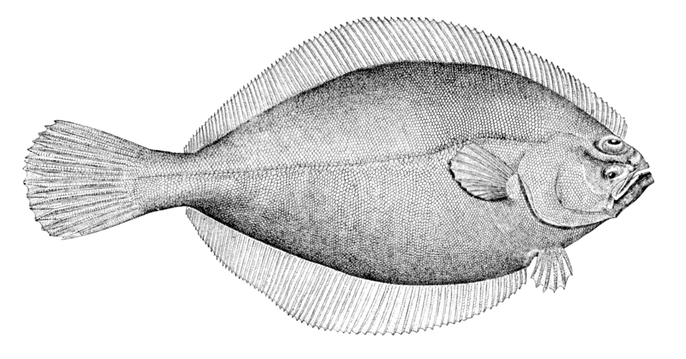 NC Flounder - Seafood of the month November