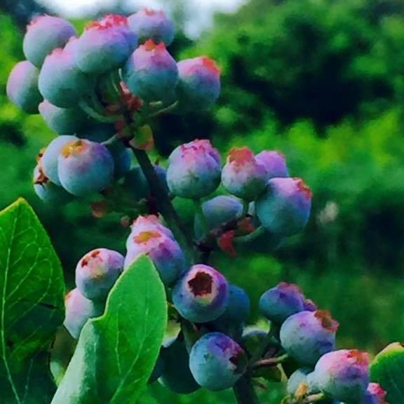 Bridgeton BlueberryFest
