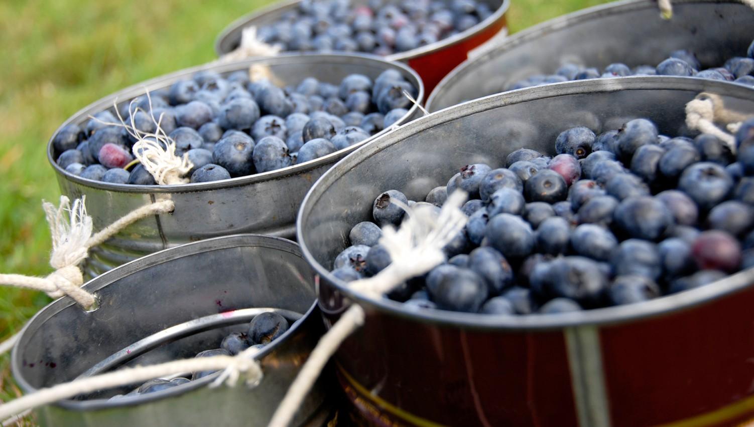 It's Blueberry Season In NC