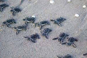 Record Turtle Nests on NC Coast!