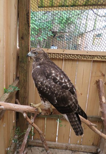 Sea Biscuit Wildlife Shelter Red Tail Hawk